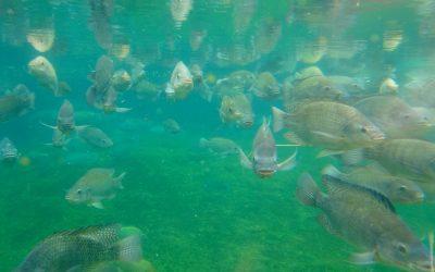 Ozone et pisciculture