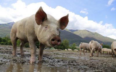 Eau ozonée et peste porcine